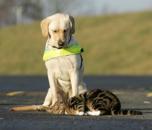 小猫利奥躺在尤科跟前,但尤科仍不为所动-英国用猫训练考核导盲犬
