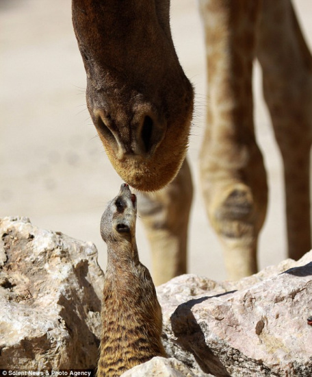 """颈鹿显然不是""""多情种"""",并未理会猫鼬的好意-摄影师捕捉到猫鼬"""